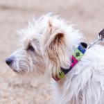Pioneros Dog Collar - Berry, Navy & Green 2